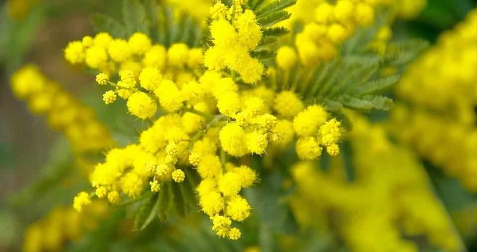 fiori-festa-della-donna-mimosa
